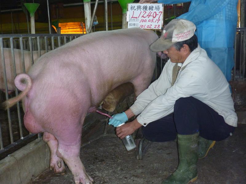 台灣區種豬產業協會10102期L1240-07採精相片