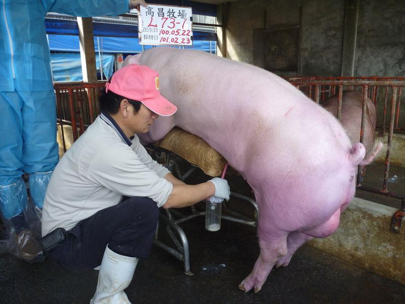 台灣區種豬產業協會10102期L0073-01採精相片