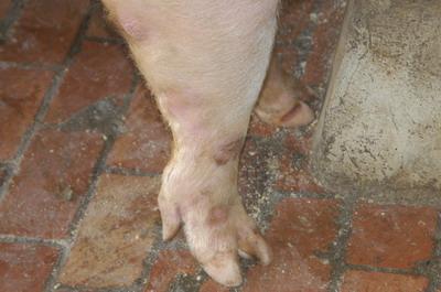 中央畜產會201109期Y0458-02體型-四肢相片