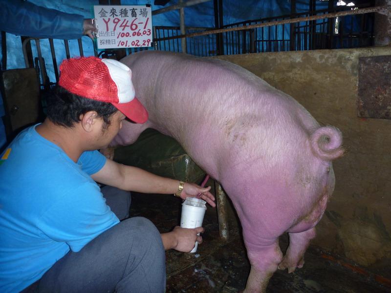 台灣區種豬產業協會10102期Y0946-01採精相片