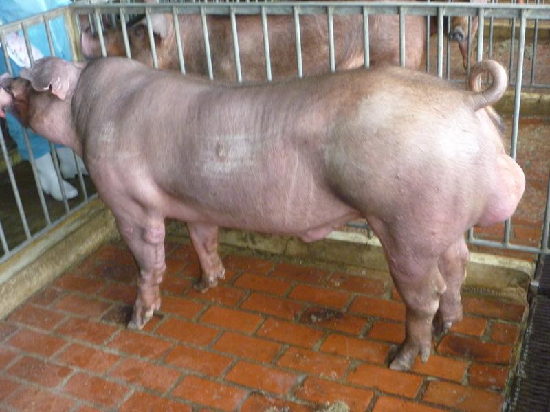 台灣區種豬產業協會10102期D0035-01側面相片