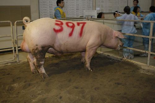 台灣動物科技研究所竹南檢定站10008期L0163-14拍賣相片(高價豬)