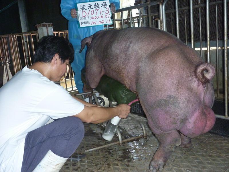 台灣區種豬產業協會10103期D1071-03採精相片