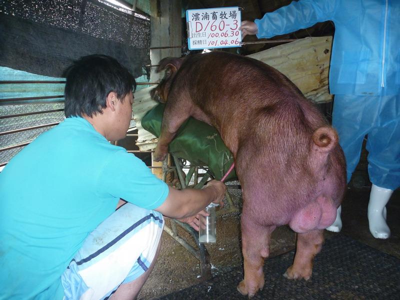 台灣區種豬產業協會10103期D0160-03採精相片