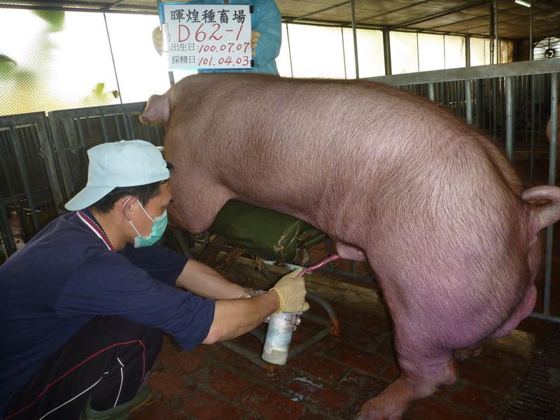台灣區種豬產業協會10103期D0062-01採精相片