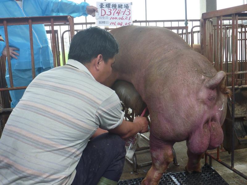 台灣區種豬產業協會10103期D0374-13採精相片