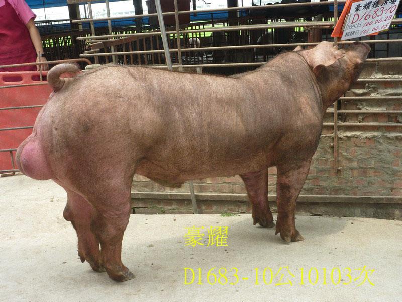 台灣區種豬產業協會10103期D1683-10側面相片