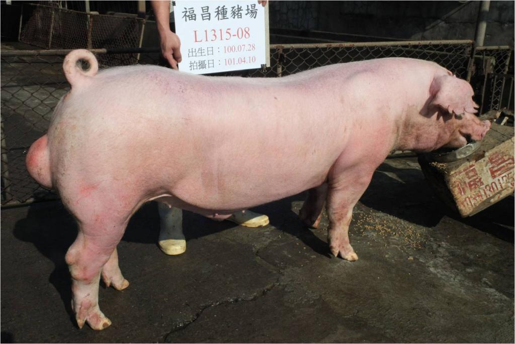 台灣區種豬產業協會10103期L1315-08側面相片