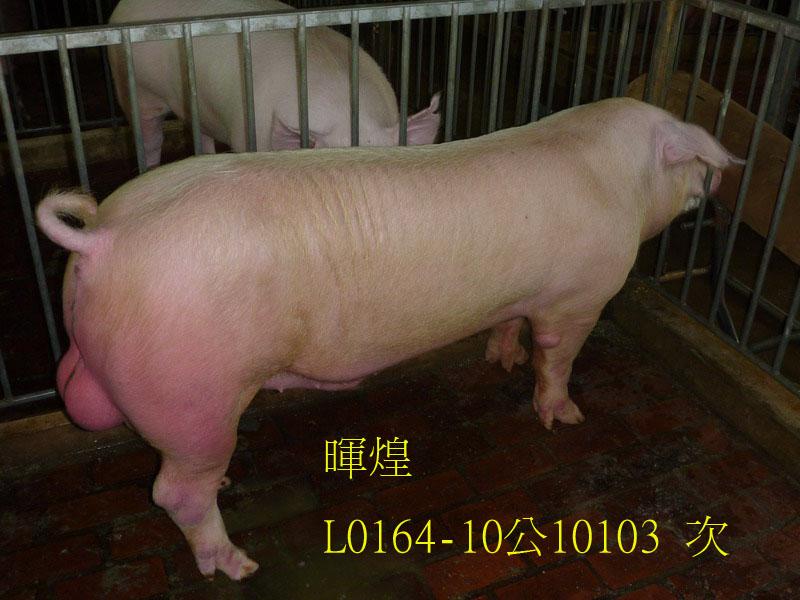 台灣區種豬產業協會10103期L0164-10側面相片