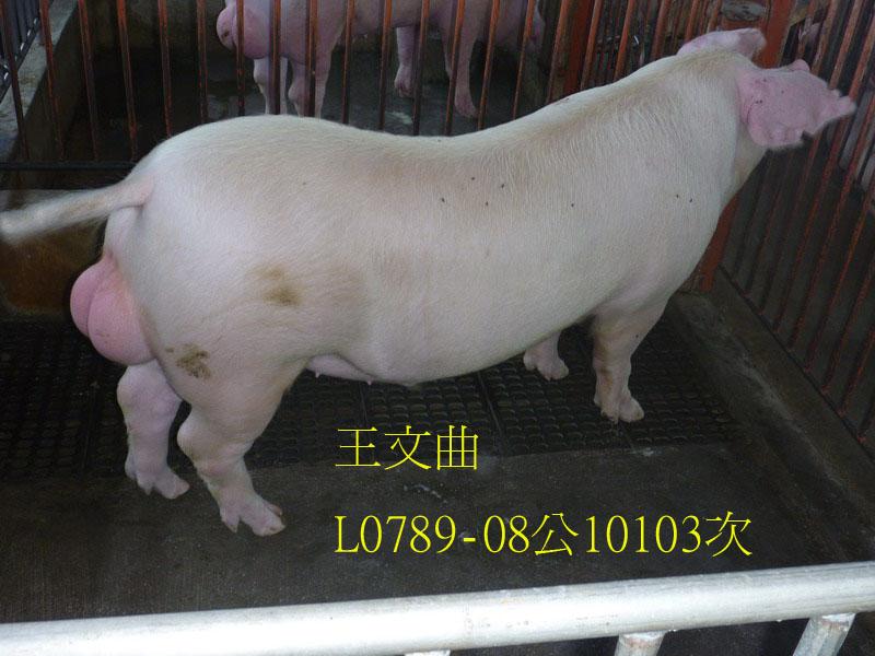 台灣區種豬產業協會10103期L0789-08側面相片