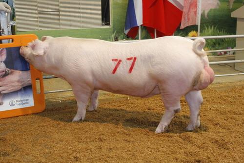 中央畜產會201109期L0173-10拍賣照片(高價豬)