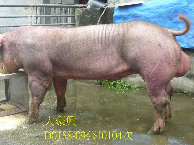 台灣區種豬產業協會10104期D0158-09側面相片