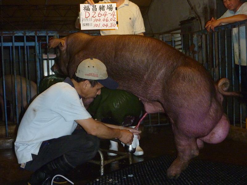 台灣區種豬產業協會10104期D0264-04採精相片