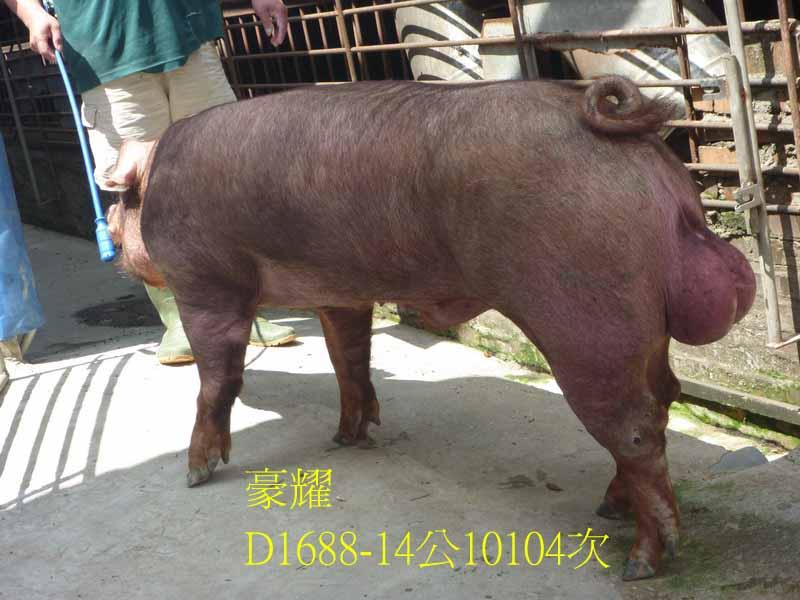 台灣區種豬產業協會10104期D1688-14側面相片