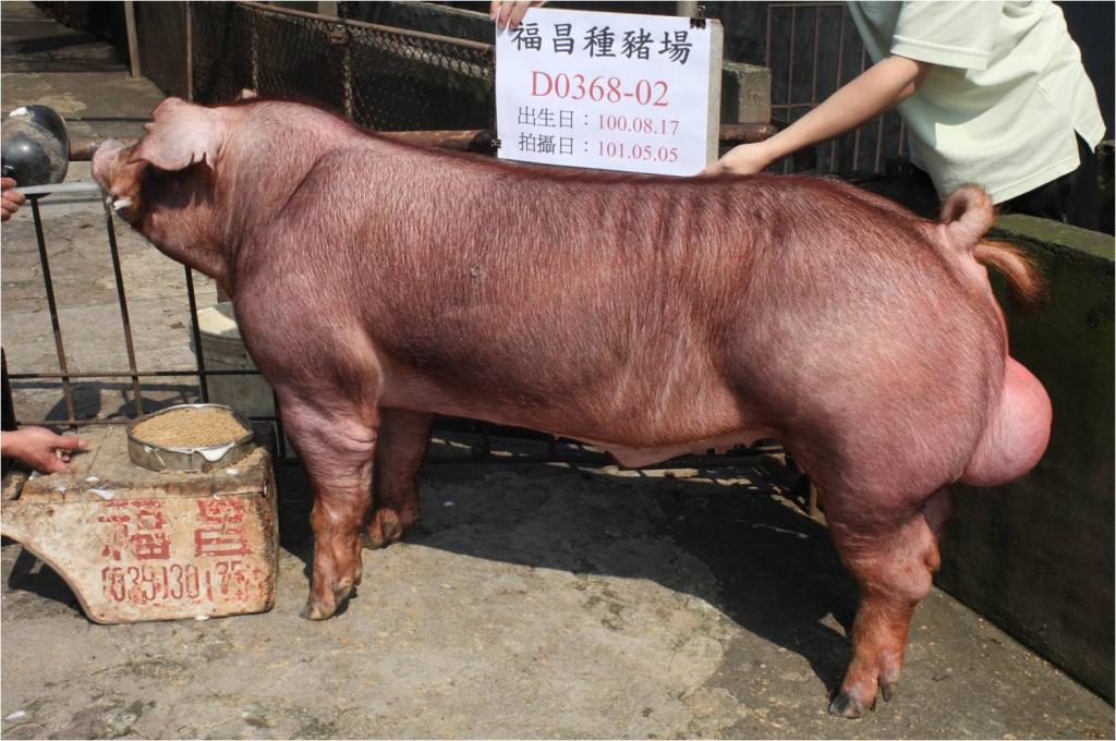 台灣區種豬產業協會10104期D0368-02側面相片