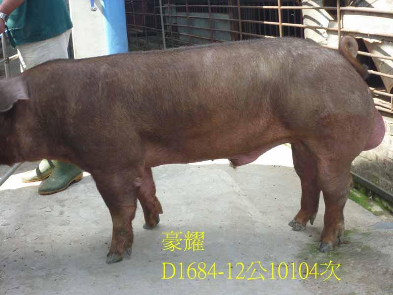 台灣區種豬產業協會10104期D1684-12側面相片
