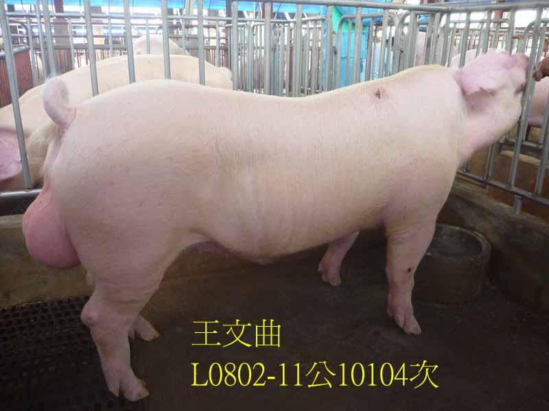 台灣區種豬產業協會10104期L0802-11側面相片