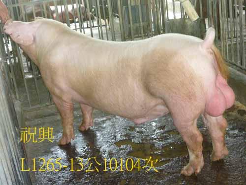 台灣區種豬產業協會10104期L1265-13側面相片