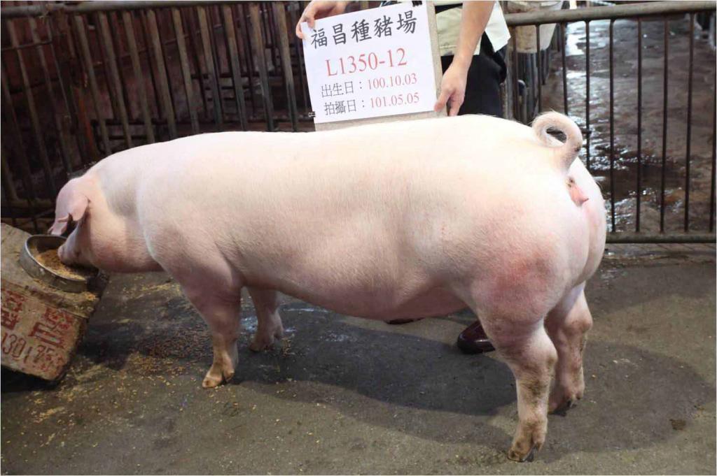 台灣區種豬產業協會10104期L1350-12側面相片