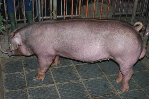 中央畜產會201111期D0335-01體型-全身相片