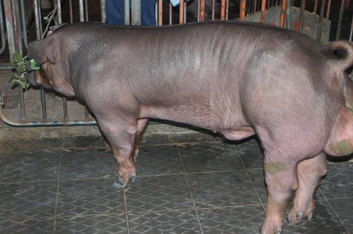 中央畜產會201111期D0251-04體型-全身相片