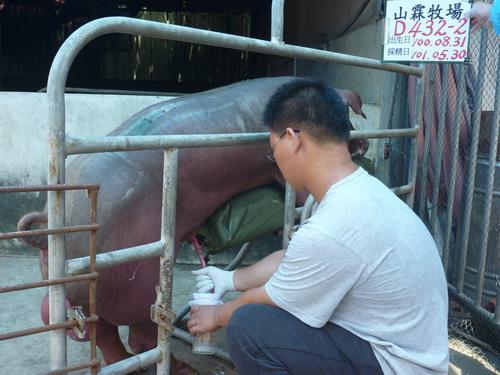 台灣區種豬產業協會10105期D0432-02採精相片