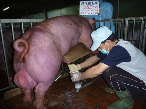 台灣區種豬產業協會10105期D0082-02採精相片
