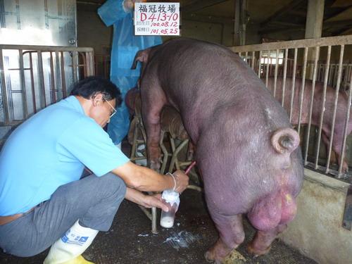 台灣區種豬產業協會10105期D0413-10採精相片