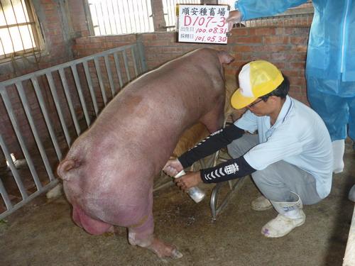 台灣區種豬產業協會10105期D0107-03採精相片