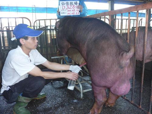 台灣區種豬產業協會10105期D0328-01採精相片