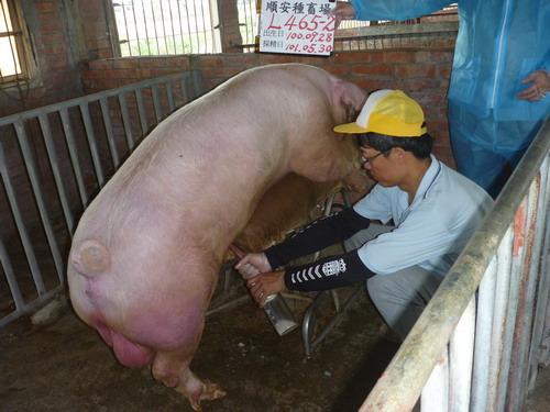 台灣區種豬產業協會10105期L0465-02採精相片
