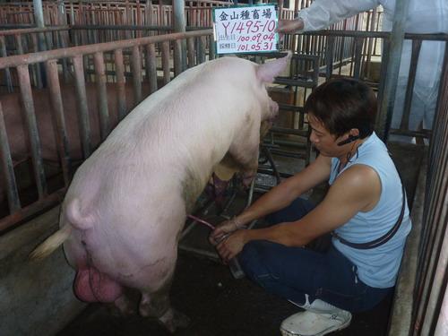 台灣區種豬產業協會10105期Y1495-10採精相片