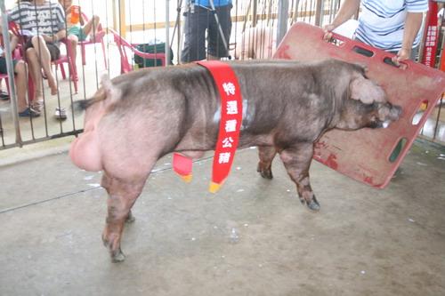台灣區種豬產業協會10104期D0264-04拍賣相片(高價豬)