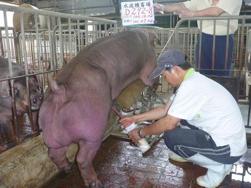 台灣區種豬產業協會10106期D0292-08採精相片