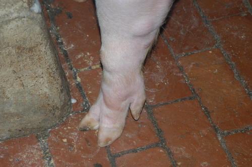 中央畜產會201201期L1394-02體型-四肢相片