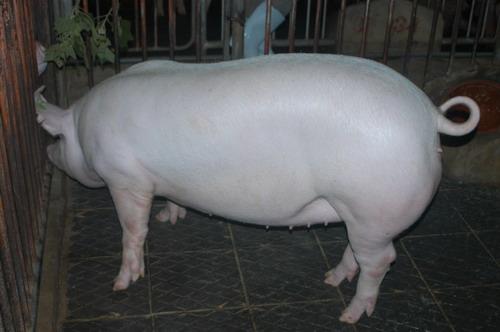 中央畜產會201201期L0231-02體型-全身相片