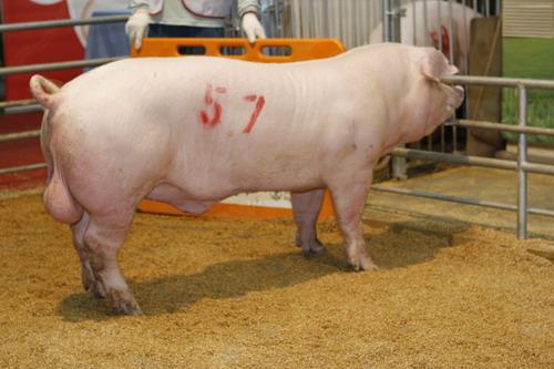 中央畜產會201201期L0511-03拍賣照片(高價豬)