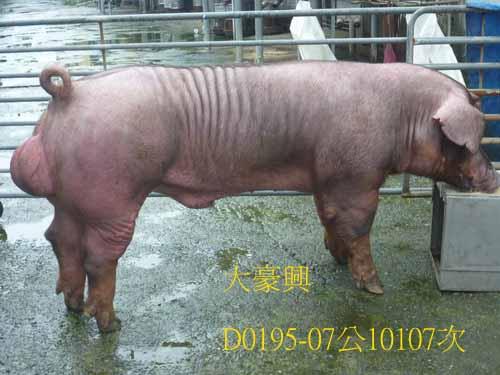 台灣區種豬產業協會10107期D0195-07側面相片