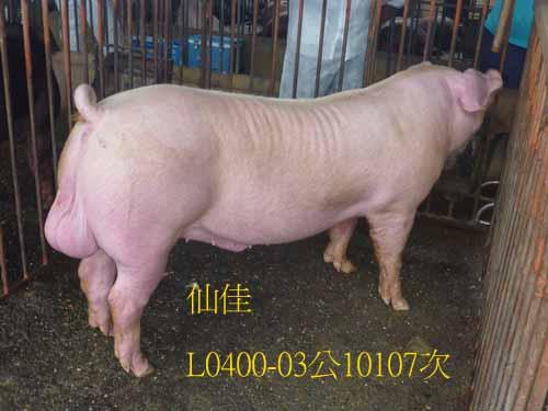 台灣區種豬產業協會10107期L0400-03側面相片