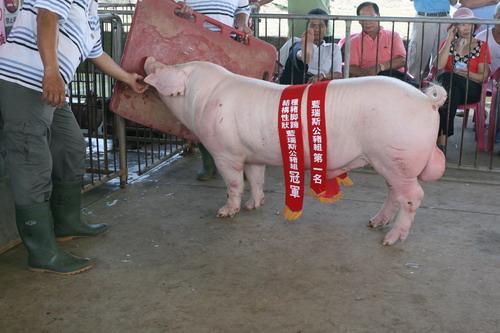 台灣區種豬產業協會10107期L1358-02拍賣相片(高價豬)