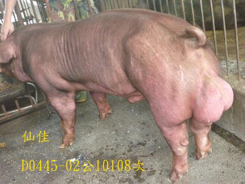 台灣區種豬產業協會10108期D0445-02側面相片