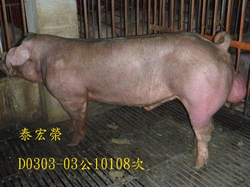 台灣區種豬產業協會10108期D0303-03側面相片