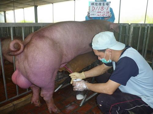 台灣區種豬產業協會10108期D0118-01採精相片