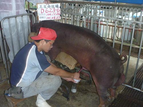 台灣區種豬產業協會10108期D0623-06採精相片