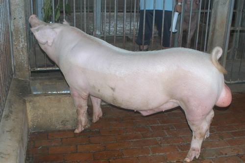 中央畜產會201203期L1428-01體型-全身相片
