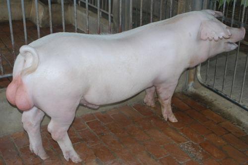 中央畜產會201203期L1428-03體型-全身相片