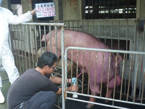 台灣區種豬產業協會10108期D0216-10採精相片