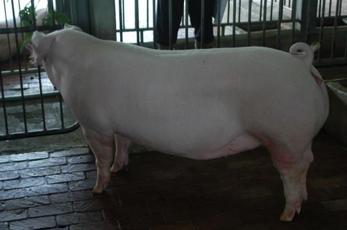中央畜產會201203期L0574-12體型-全身相片