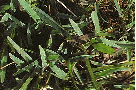 奧古斯丁草(鈍葉草,聖奧古斯丁草)Stenotaphrum secundatum