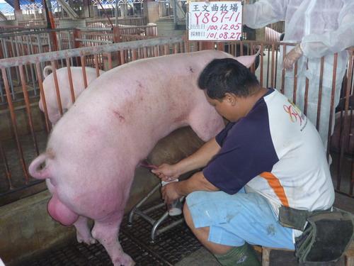 台灣區種豬產業協會10108期Y0867-11採精相片